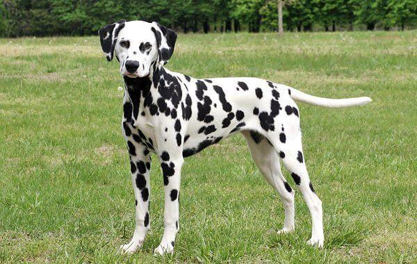 Далматинец: описание породы собак, характера, условий содержания, отзывы владельцев
