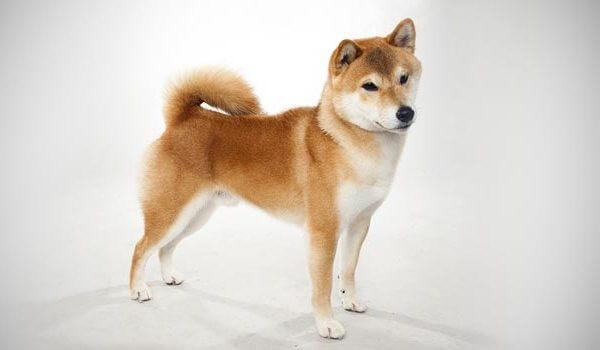Сиба-ину: описание породы собак шиба-ину и отличия от акита-ину, характер, история