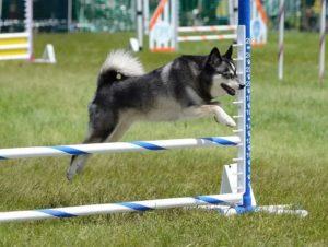 аляскинский кли кай - порода собак