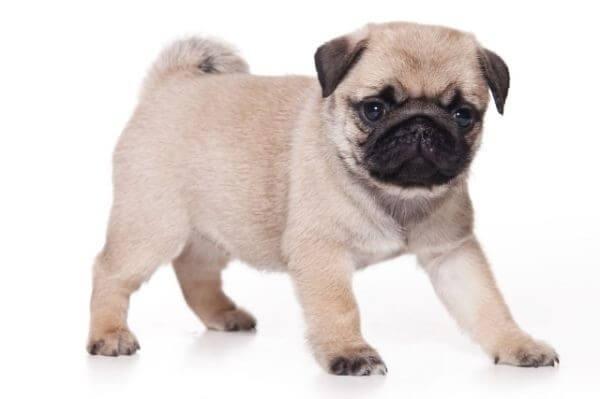 Лучшие породы собак для охраны частного дома на улице или защиты в ... | 399x600