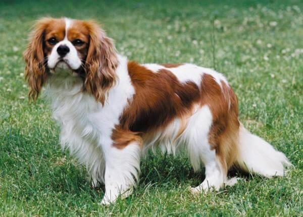 Собаки спокойных пород