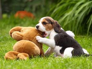 фото бигль порода собак