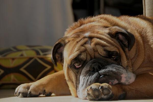 Если у собаки понос чем лечить в