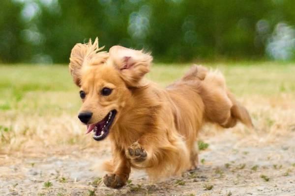 Такса: характеристика породы и ее описание, сколько живут, уход и содержание собаки
