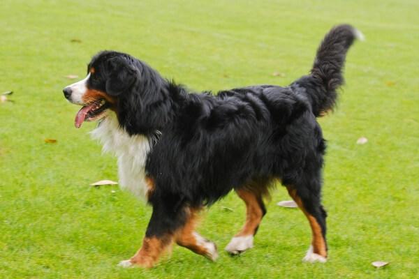 Бернский зенненхунд Бернская горная пастушья собака