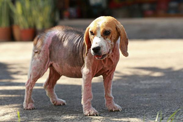ветеринария заболевание кожные у собак