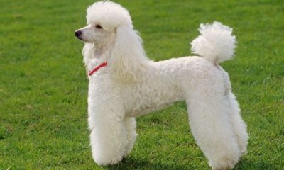 Брабансон - порода собак семейства гриффон: фото и отзывы владельцев