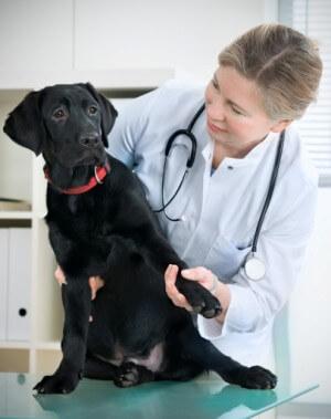 пиометра у собак симптомы и лечение фото