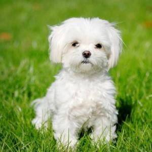 мальтийская болонка мини фото взрослой собаки